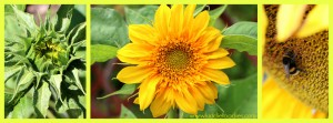 Sunflower flower photo collage1